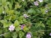 Åkerbär i blom