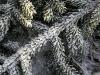 Frostigt granris