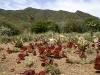 Doftkalankoe, Kalanchoe tyrsiflora