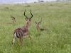 Impala-antiloper
