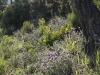 Vägkant på Rivieran med blommande lavendel