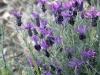 Vild skärmlavendel, Lavandula stoechas, i södra Frankrike.