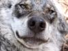 Varg, Canis lupus