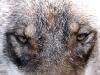 Vargöga, Canis lupus