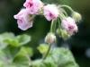 \'Millfield Rose\'