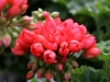 \'Red Pandora\'