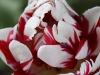 Tulipa 'Carnaval de Nice'