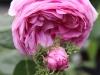 Rosa 'Cristata'
