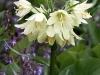Halmgul kejsarkrona, Fritillaria raddeana