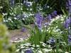 Hyacinthus 'Anastasia'