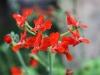 Cinnoberpelargon, Pelargonium fulgidum