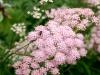 Rosenbockrot, Pimpinella rhodantha