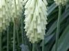 Stor vinterraket, Veltheimia bracteata