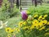 Tulpaner och gemsrot, Doronicum