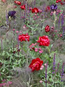 Pionen 'Buckeye Belle' på Chelsea Flower Show  Foto: Susanna Rosén