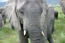 Elefanter i Sydafrika Foto: Susanna Rosén