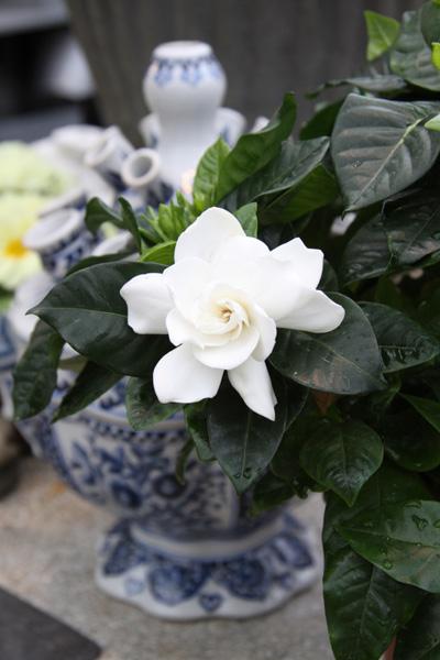 Gardenia  Foto: Susanna Rosén