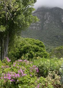 Vild pelargon, Pelargonium cucullatum, i Sydafrika Foto: Susanna Rosén